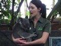 コアラ飼育員