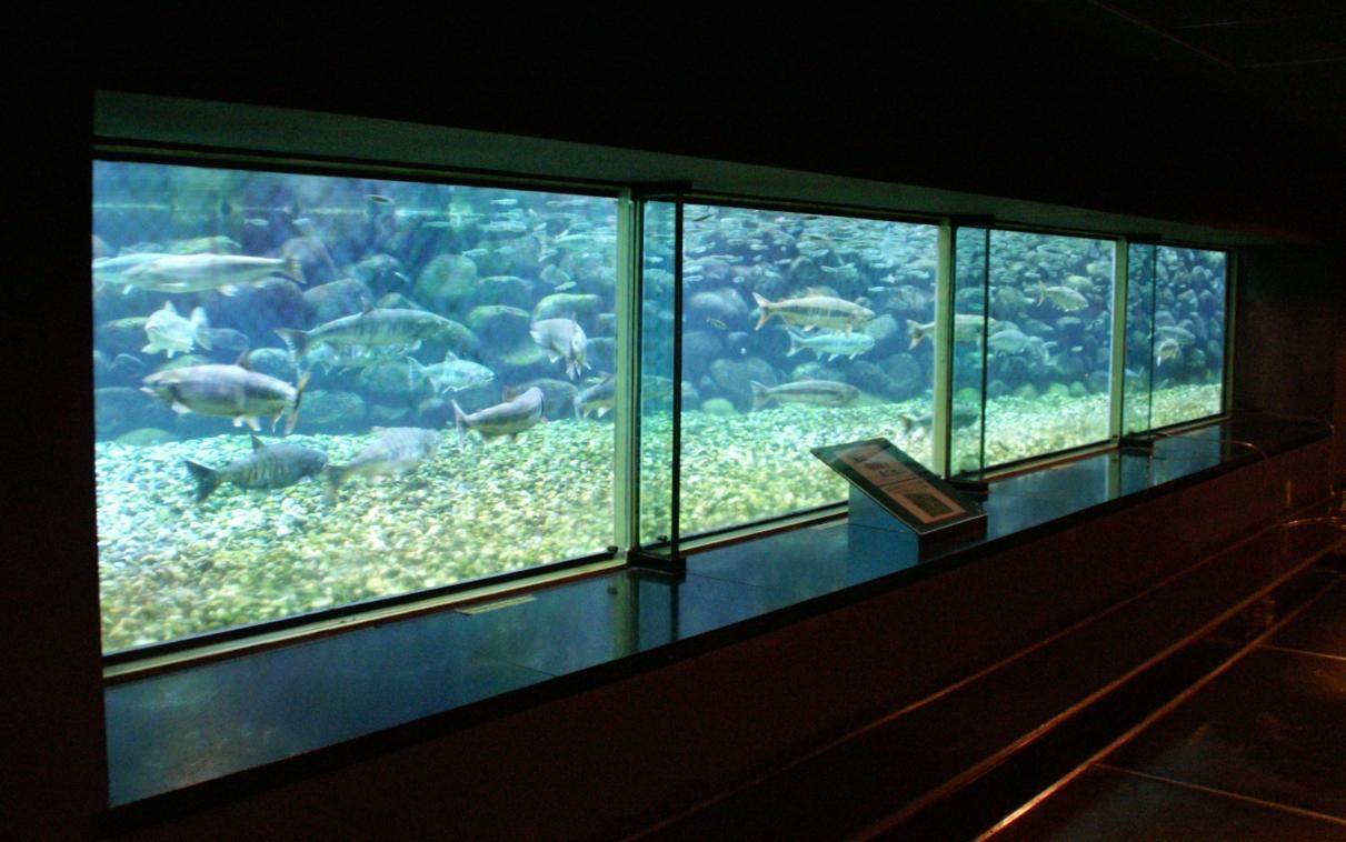 写真3 いよぼや会館 鮭のふ化がみられる水槽
