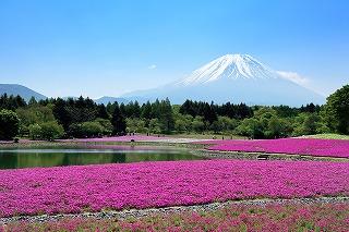富士本栖湖リゾートの芝桜(山梨県富士河口湖町)